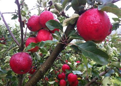 Äpplen om våren