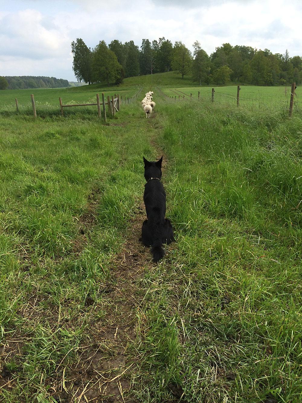 Vår fårhund i arbete