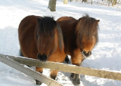 Hästar om vintern